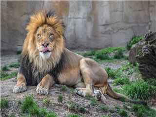 草原雄狮高清壁纸 凶猛草原动物狮子图片