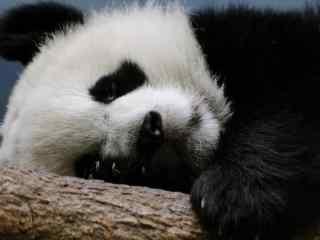 国宝大熊猫高清壁纸 大熊猫卖萌图片
