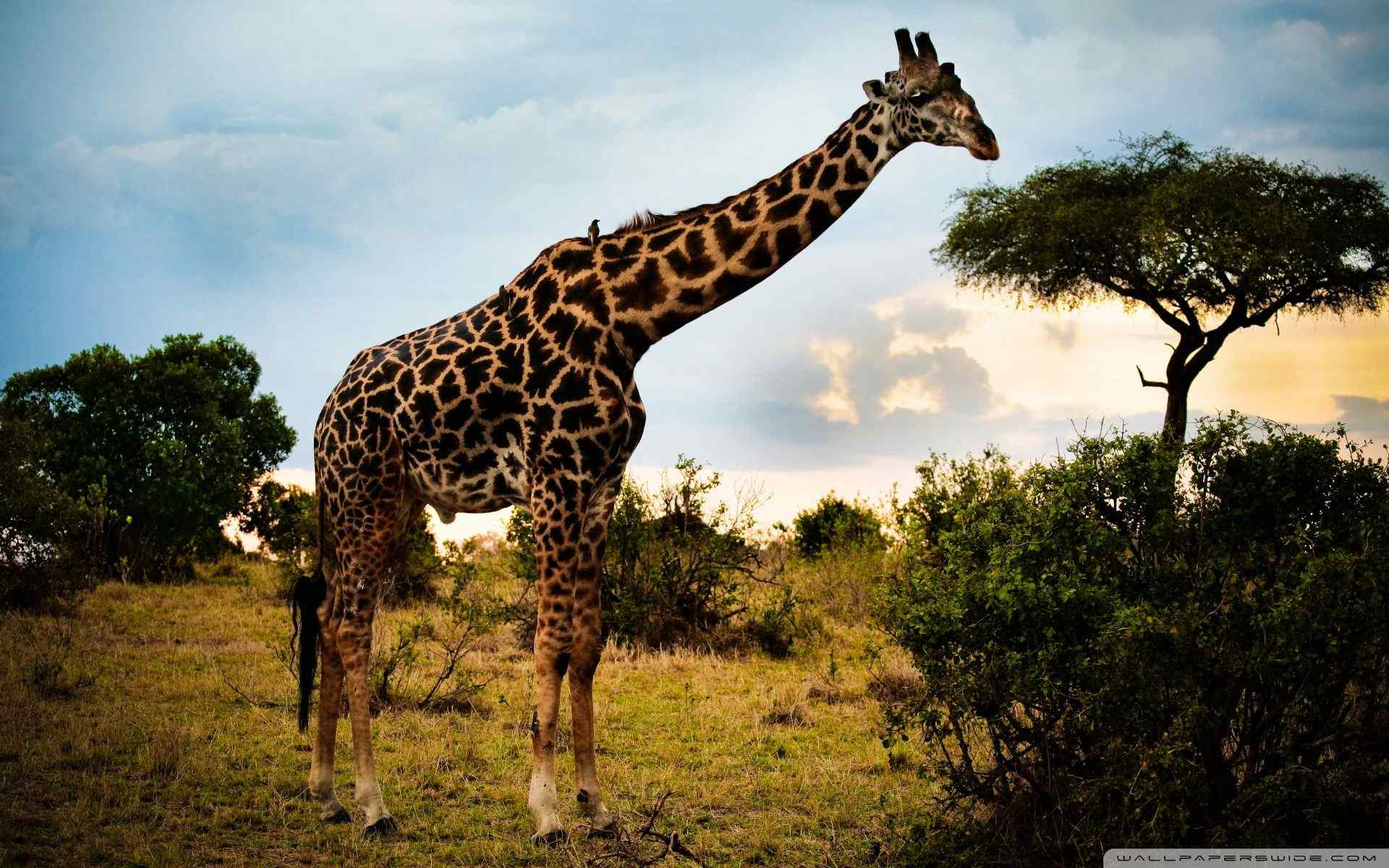 长颈鹿创意特写桌面壁纸 森林动物长颈鹿图片