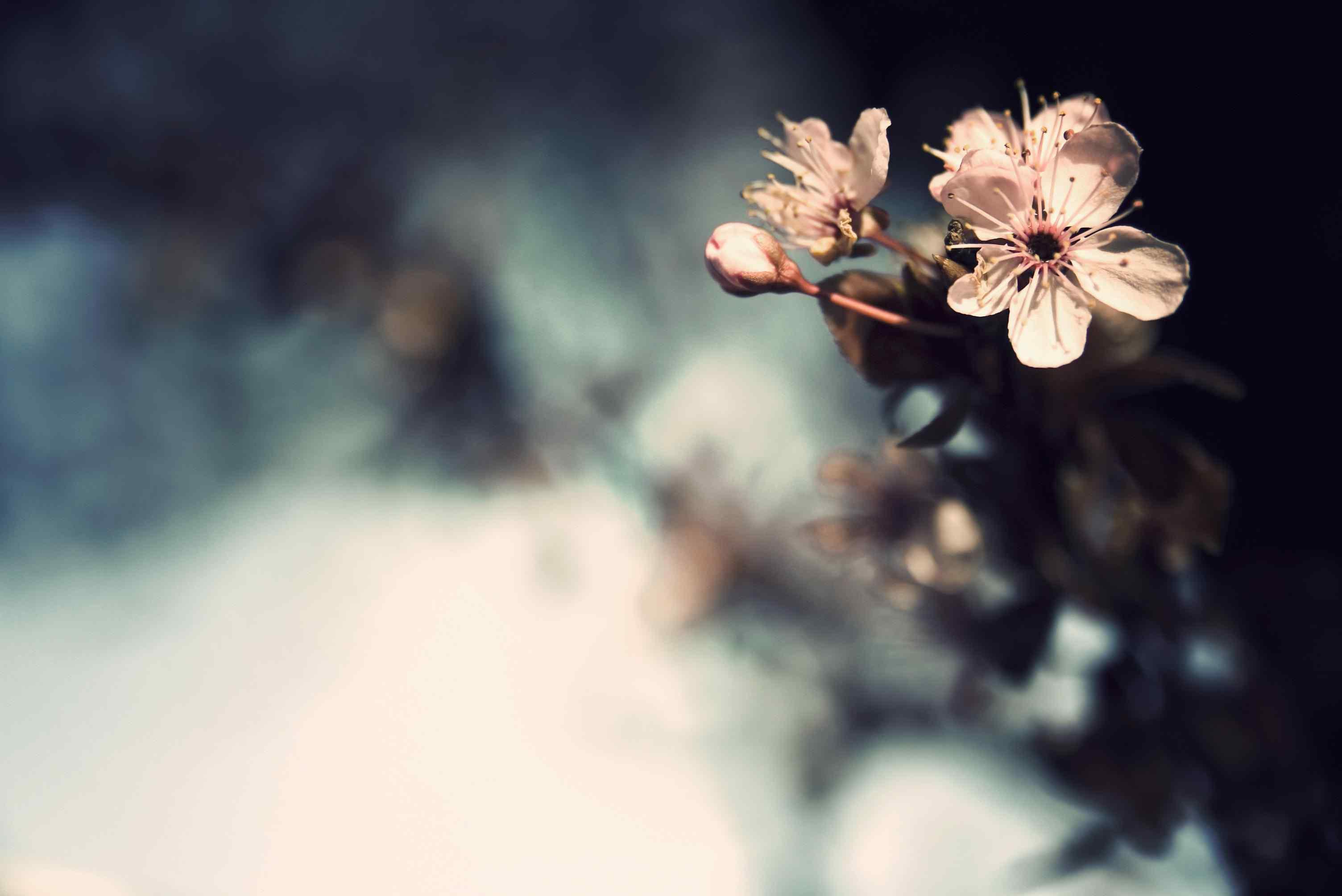 美麗的梅花盛開高清桌面壁紙 高清梅花攝影圖片