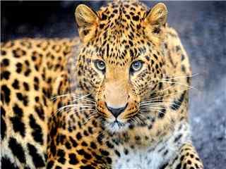 森林凶猛动物猎豹高清桌面壁纸 豹子图片