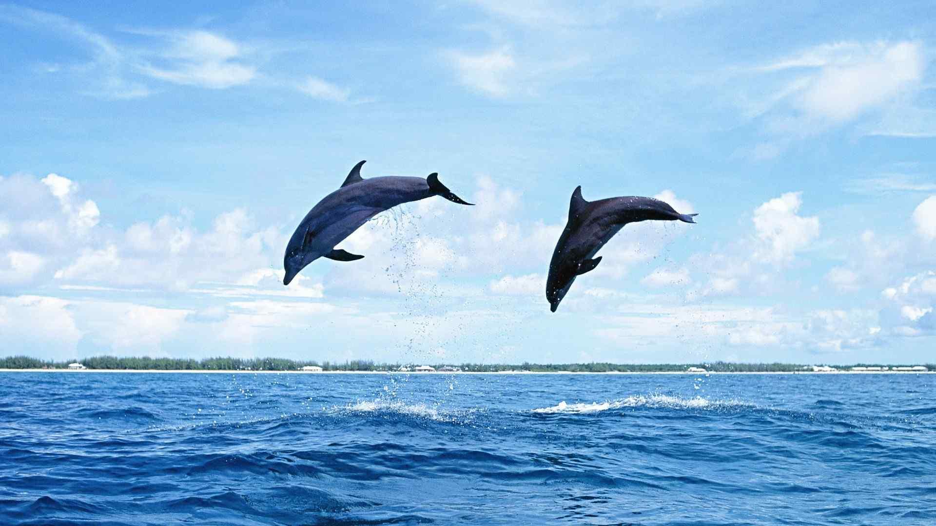 跳躍的海豚高清壁紙 藍色海豚圖(tu)ji)可愛海豚桌(zhuo)面壁紙