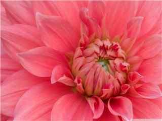 娇艳富贵花中之王牡丹高清壁纸 牡丹花 牡丹花图片
