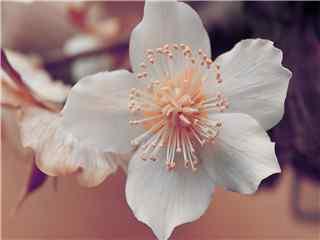 淡雅清新植物梨花高清桌面壁纸 梨花图片