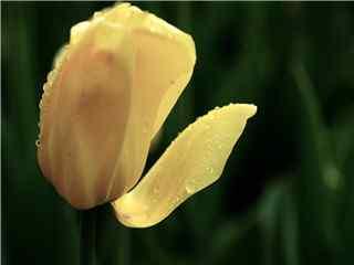 唯美鲜艳尊贵花卉红色郁金香 郁金香图片