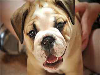 可爱呆萌宠物狗高清壁纸下载 宠物狗图片
