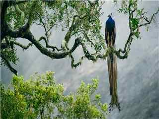 美丽的孔雀高清桌面壁纸下载 孔雀开屏图片