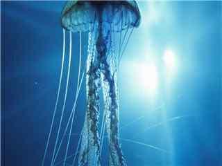 特写唯美好看的海洋生物水母桌面壁纸 水母图片