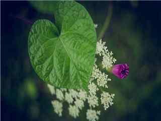 色彩絢麗(li)唯美紫色牽牛花高清攝影壁紙 牽牛花圖片