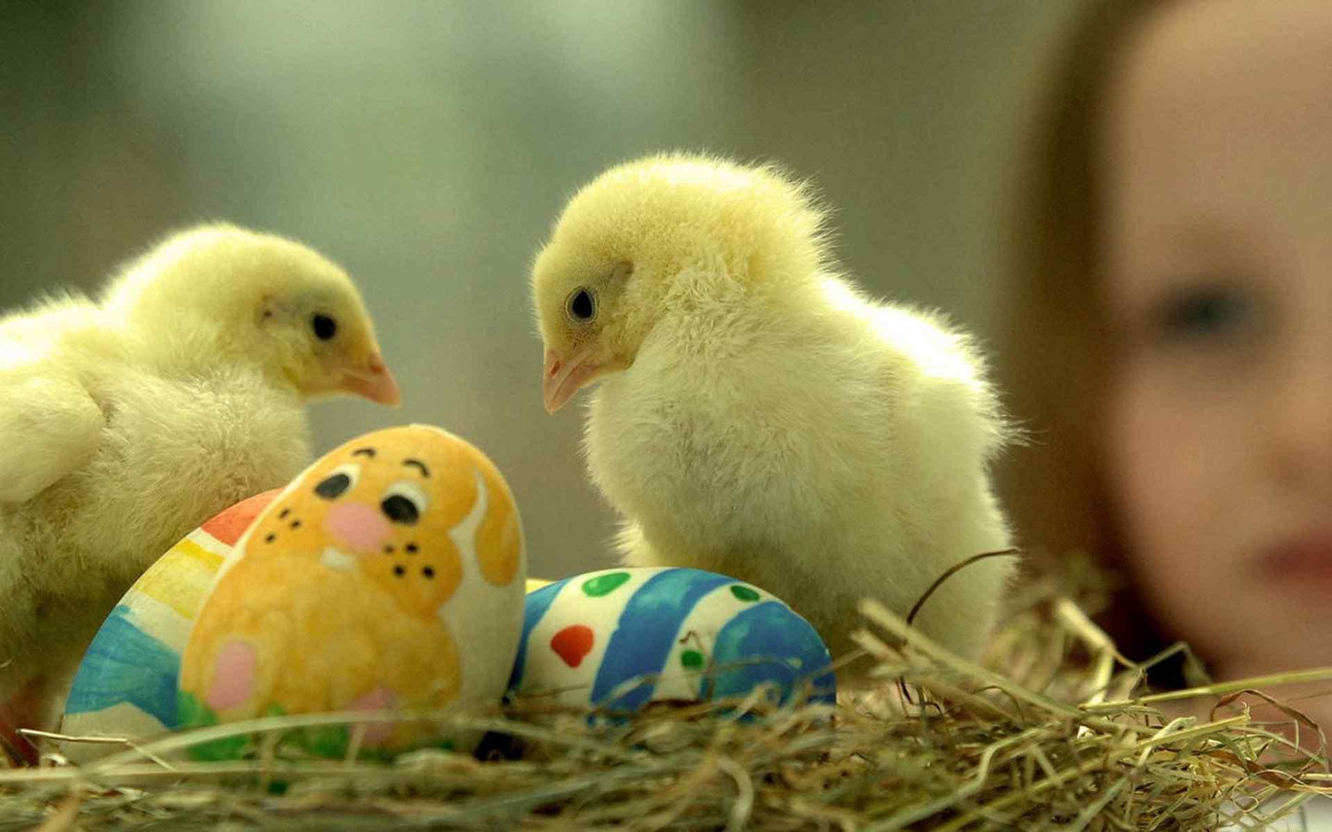 呆萌小鸭图片 可爱毛茸茸小鸭子桌面壁纸 黄色小鸭子图片