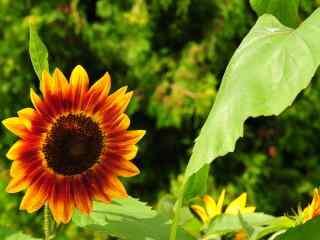 阳光向日葵图片 灿烂绚丽向日葵桌面壁纸 金色向日葵壁纸下载