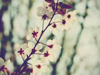 唯美梨花摄影壁纸 淡雅清新梨花壁纸 白粉梨花图片