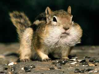 可爱小松鼠高清壁纸 胖嘟嘟松鼠图片 松鼠图片下载