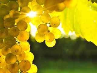 诱人葡萄高清图片 可口绿色葡萄特写壁纸 水果葡萄壁纸