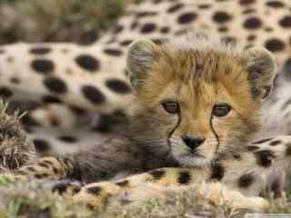 草原猛兽豹子壁纸 饥饿的豹子高清桌面 豹子图片