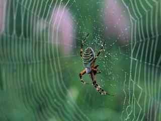 绿色蜘蛛图片下载 微距高清蜘蛛桌面壁纸 蜘蛛图片下载