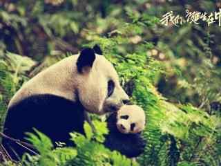 中国保护动物大熊猫图片 特级保护动物大熊猫桌面壁纸  大熊猫图