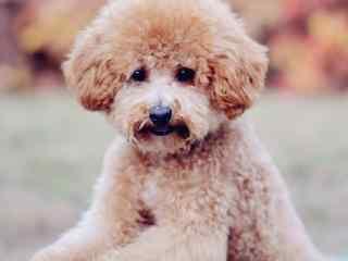 可愛泰迪犬圖片 泰迪狗桌面壁紙  超萌泰迪圖