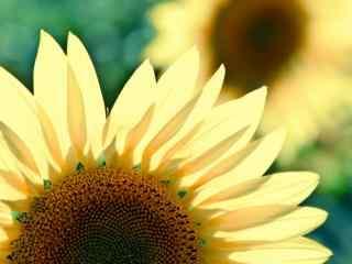 乡间向日葵摄影壁纸 高清向日葵特写壁纸 向日葵图片