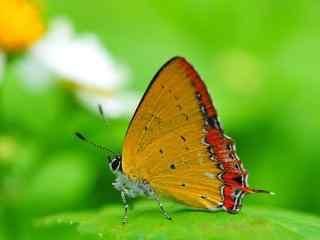 高清蝴蝶摄影壁纸 蝴蝶花卉高清壁纸 蝴蝶图片