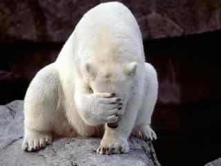 冰川北极熊的图片 动物北极熊桌面壁纸 可爱北极熊图片