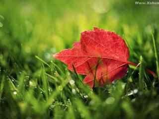 红色枫叶高清壁纸 精选红枫叶桌面壁纸