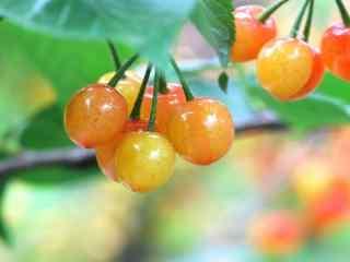 红樱桃摄影壁纸下载 唯美红樱桃写真桌面壁纸