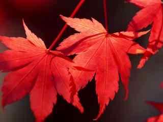 深秋红色枫叶桌面壁纸 红枫高清摄影桌面壁纸