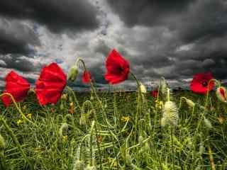 唯美罂粟花桌面壁纸 精选红色野罂粟高清摄影图片