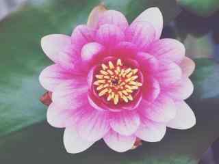 夏季清新唯美睡莲壁纸 盛开的睡莲桌面壁纸 睡莲图片