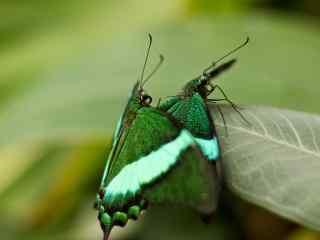 唯美蝴蝶特写壁纸 绚丽蝴蝶桌面壁纸 蝴蝶图片