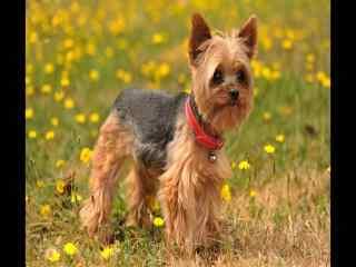 可爱小狗约克夏犬图片 约克夏犬桌面图片 呆萌狗狗约克夏犬图