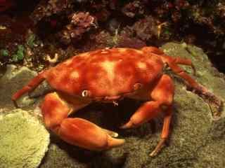 海底螃蟹图片下载 海里爬行动物图片 螃蟹壁纸