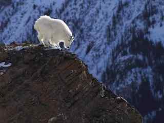 小山羊的图片 草原山羊桌面壁纸 白色山羊图片