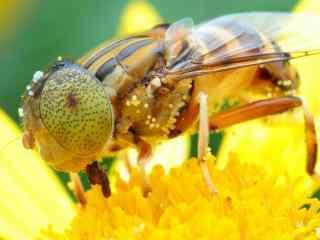 小蜜蜂图片下载 蜜蜂采花桌面壁纸 高清蜜蜂图片