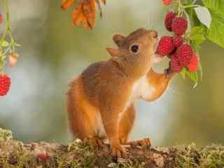 小松鼠图片 可爱松鼠桌面壁纸下载  森林动物小松鼠图片