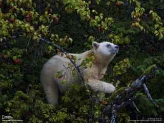 温顺灰熊的图片 森林灰熊桌面壁纸 可爱熊图片