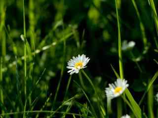 高雅小雏菊图片 清新淡雅小雏菊桌面壁纸 小雏菊图片下载