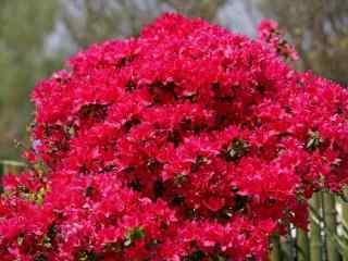 火红的花朵杜鹃花桌面壁纸 杜鹃花图片 杜鹃花语