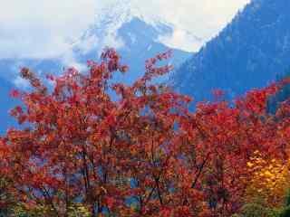火红枫叶图片 秋意弥漫枫叶红桌面壁纸  纷飞枫叶图片下载
