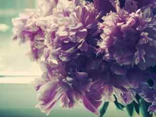 高清牡丹特写壁纸 唯美牡丹摄影壁纸 牡丹花图片