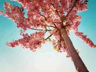 四季海棠花图片 各色海棠花桌面壁纸下载  杜鹃花语