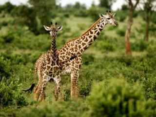 长颈鹿图片_动物长颈鹿桌面壁纸_草原长颈鹿壁纸下载