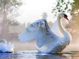 动物天鹅图片_湖泊中的天鹅壁纸_天鹅游玩图片下载