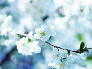 凤梨花图片_白色的梨花壁纸下载_梨花雨图片