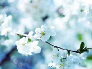 鳳梨(li)花圖片_白色(se)的梨(li)花壁紙(zhi)下載_梨(li)花雨圖片