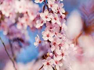 樱花_樱花草_樱花图片_樱花壁纸_日本樱花