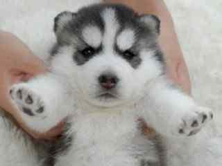 哈士奇_哈士奇表情包_西伯利亚雪橇犬_小哈士奇_二货哈士奇壁纸