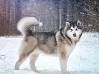阿拉斯加犬_阿拉斯加雪橇犬_小阿拉斯加犬_可爱的狗狗壁纸