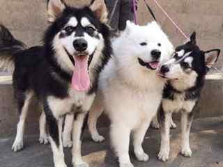 雪橇犬_雪橇三傻_阿拉斯加犬、西伯利亚犬、萨摩耶_哈士奇_雪橇犬壁纸